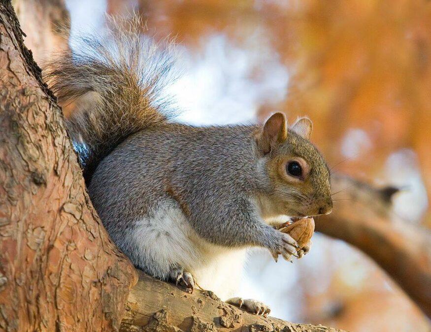 Squirrel with acorn. Photo.